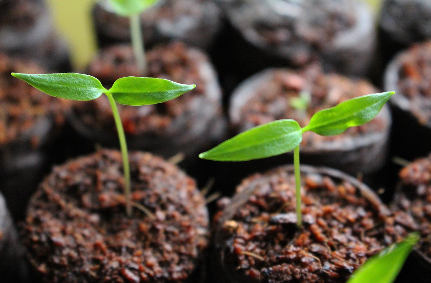 tulppaanin kasvatus siemenestä