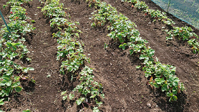 植え替えをしないで整備だけしたイチゴの畝