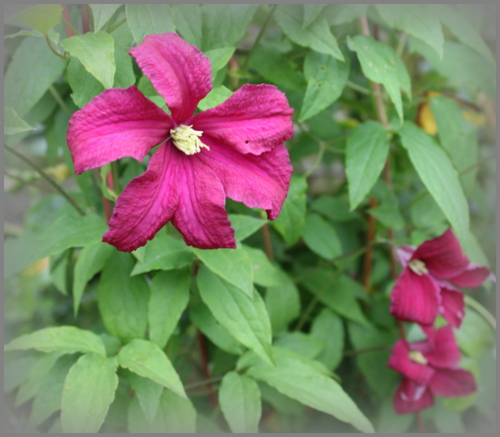 Clematis 'Mmme Julia Correvon' - stay at home and enjoy