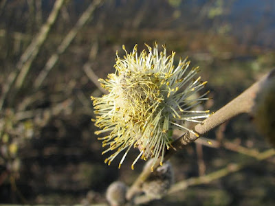 willow-strands-seed-flower-uk