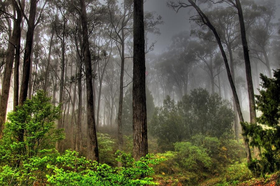 fog forest woods
