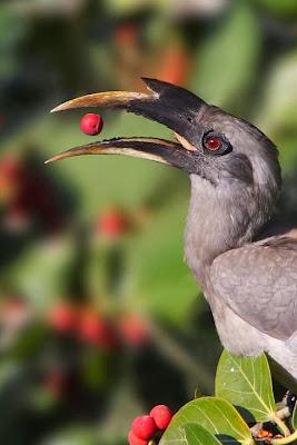 Cálao gris indio Ocyceros birostris