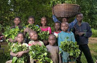 Ugwono Pauline plants Gnetum (okok) in the village of Minwoho, Lekié, Center Region, Cameroon.