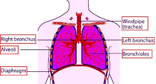 Trakea juga memiliki peran penting pada sistem pencernaan. Trakea terhubung pada sistem pipa yang sama dan ini memungkinkan seseorang untuk menelan