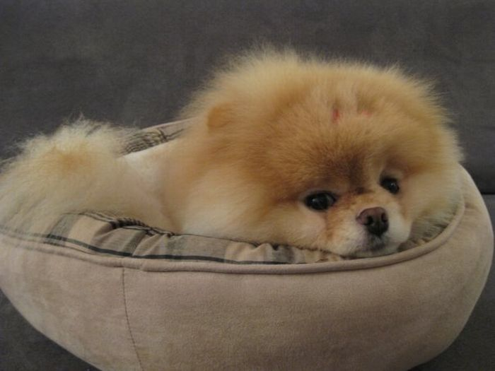 pomeranian boo dogs my funny beautiful pomeranian puppy named boo pictures 7540