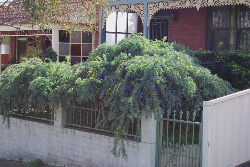 Garden Amateur Wattle It Be Now
