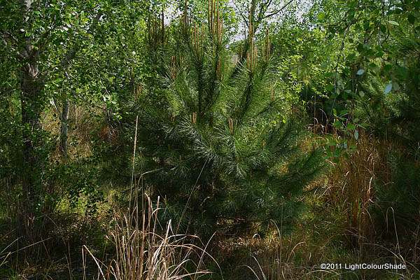 A young fir tree in the copse