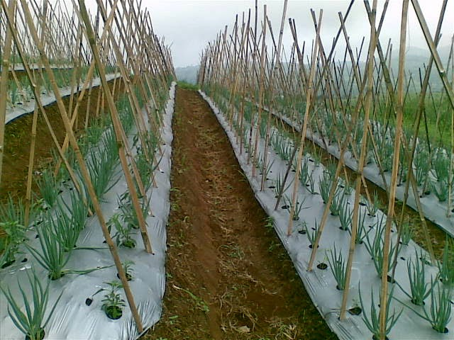 Foto(5202) Jual Tanah Milik | Kebun 23 Ha, Lokasi Puncak jual tanah di puncak