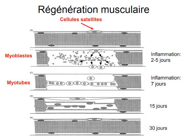 Régénération musculaire - Schéma