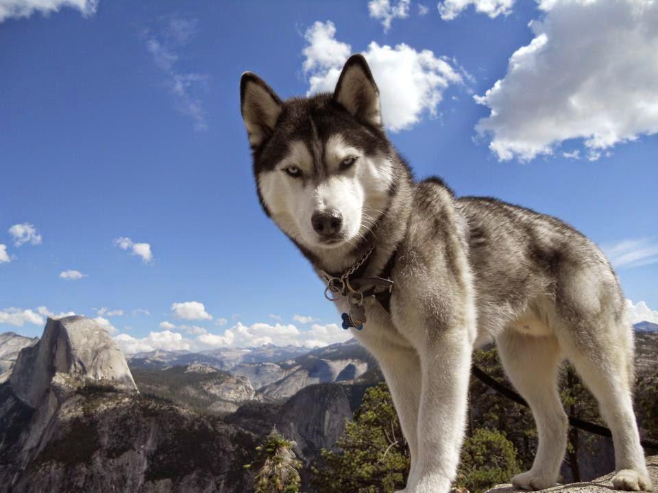 anjing husky, memelihara anjing husky
