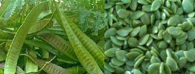 7 Health Benefits Of Leucaena Leucocephala