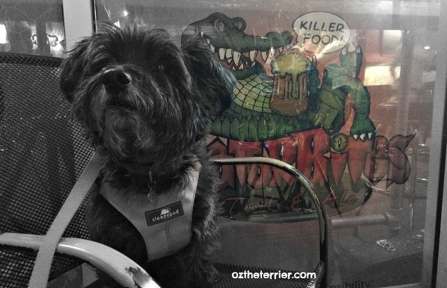 Oz the Terrier at dog-friendly Gator Bites Tail & Ale in Fort Myers, Florida