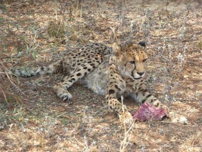 femmina anziana di ghepardo che mangia al Cheetah Conservation Fund