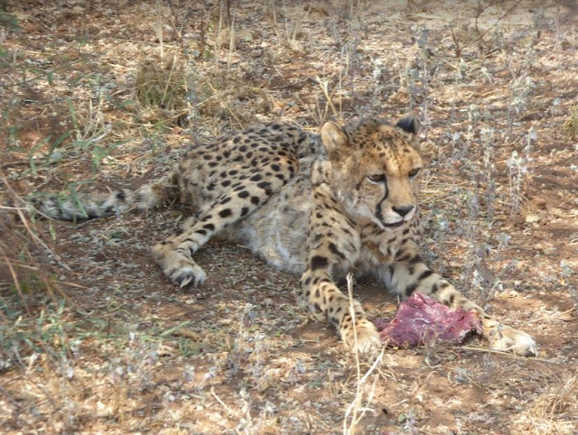 femmina anziana di ghepardo che mangia al Cheetah Conservation Fund