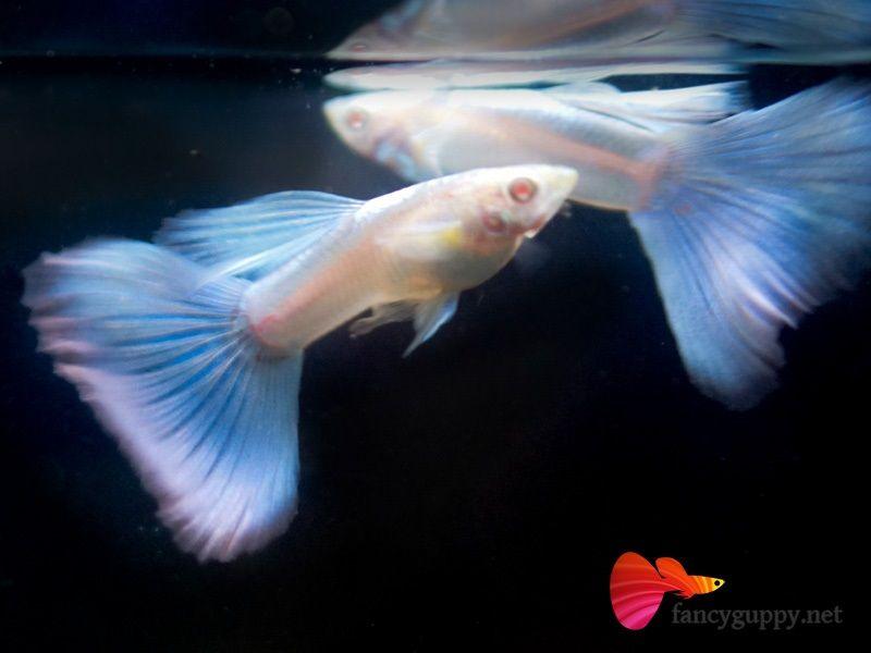 Gambar Jenis Ikan Guppy Import - Ikan Guppy Import Albino Blue Grass / ABG