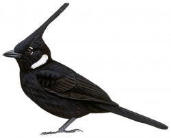 Platylophus galericulatus