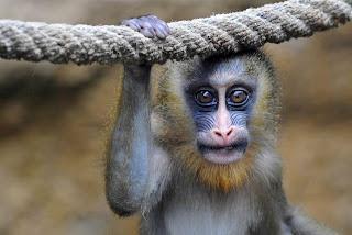 Mono posando para la camara