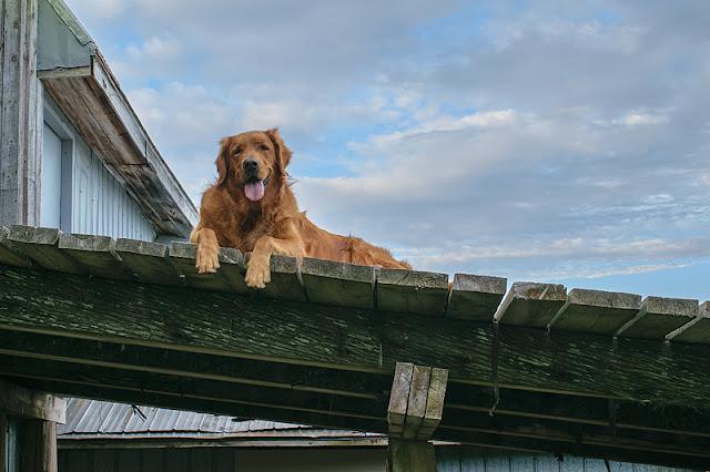 Un des trois chiens de la ferme