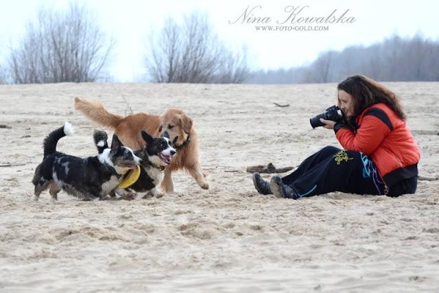 pies, plaża, zabawa, welsh corgi, corgi, cardigan, golden retriever, frisbee, patyk, pogoń, ucieczka, biba, yuma, twiggy, foto, fotograf, aparat, nikon