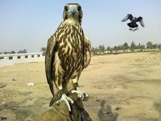 صقر وكر الحرار ..falco cherrug milvipes