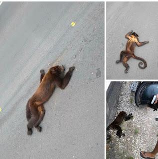 Macaco Bugio é encontrado morto na  Rodovia Empei Hiraide em Registro-SP