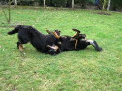 two young van de hoevemeester hovawart puppies playing