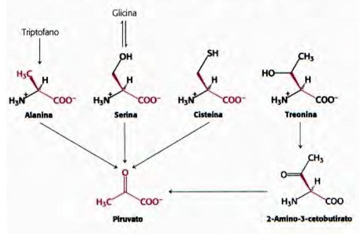 formaçao piruvato a partir de aminoacidos