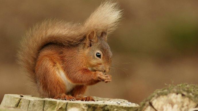 Wallpaper: Cute Squirrel