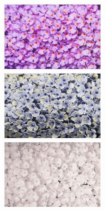 Buddleja davidii (Butterfly-bush) flowers photographed in visible light (top), ultraviolet (middle), and infrared (bottom)