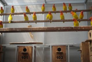 Bisni Burung Semnakin hari semakin Membuat masyarakat ramai dengan perbincangan antar pec Kabar Terbaru- TERNAK LOVEBIRD SISTEM KOLONI