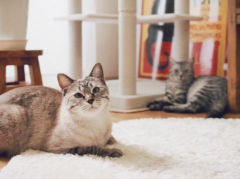 とシャムトラ猫