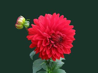 bunga dahlia merah
