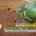 น้ำกะปิ ช่วยให้มะนาวผิวสวย ไม่หล่นง่าย ป้องกันแมลงได้อีก