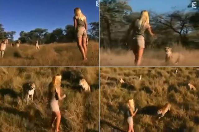 فيديو مرعب لفتاة وسط مجموعة من النمور تشتريه ناشيونال جيوجرافيك لن تصدق المبلغ الذي دفعته لشراء هذه الفيديو !