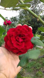 hoa hồng leo hải phòng màu đỏ tươi