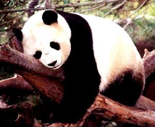 Foto de un oso panda descansando en un árbol