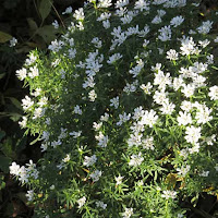 Iberis sempervirens 'Snowflake' in November