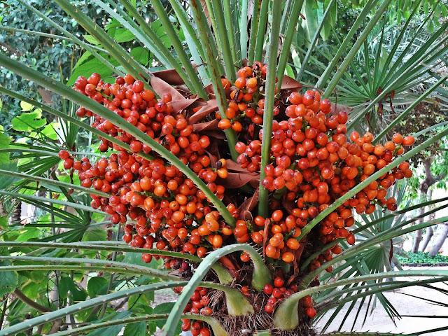 palmy daktylowe w Hiszpanii, kiedy owocują