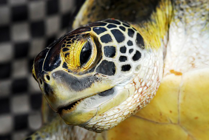 Japan Railroad Companies Build Tunnels for Turtles to Keep Them Safe