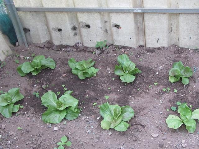 Impianto di insalata