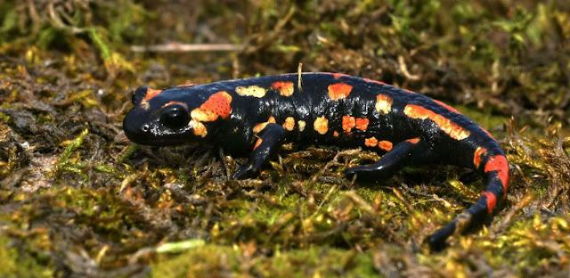 Salamandra y zoologia