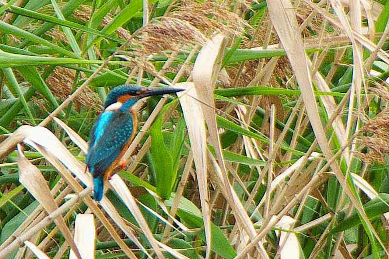 bird, kingfisher