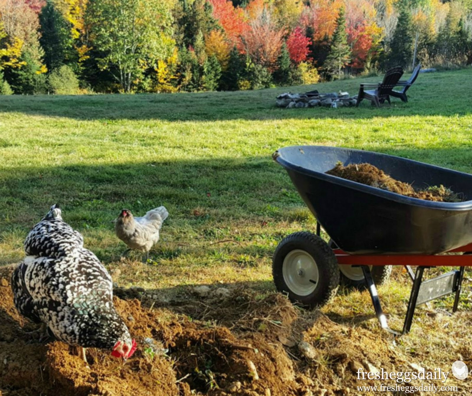 10 Healthy Sources of Added Protein for Molting Chickens | Fresh