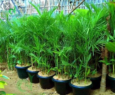 Pohon Bambu Komodoria