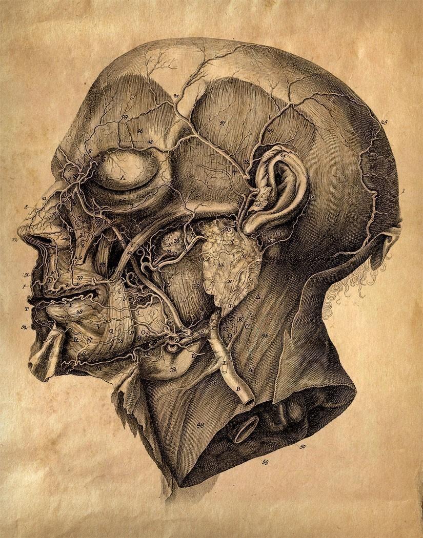 anatomisti Tavola anatomica di una testa 1 - autore ignoto Pubblicazione incerta © dell'autore, tutti i diritti riservati