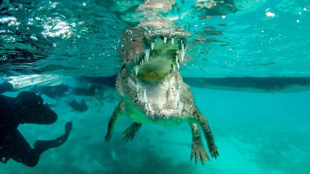 Crocodile throat closeup