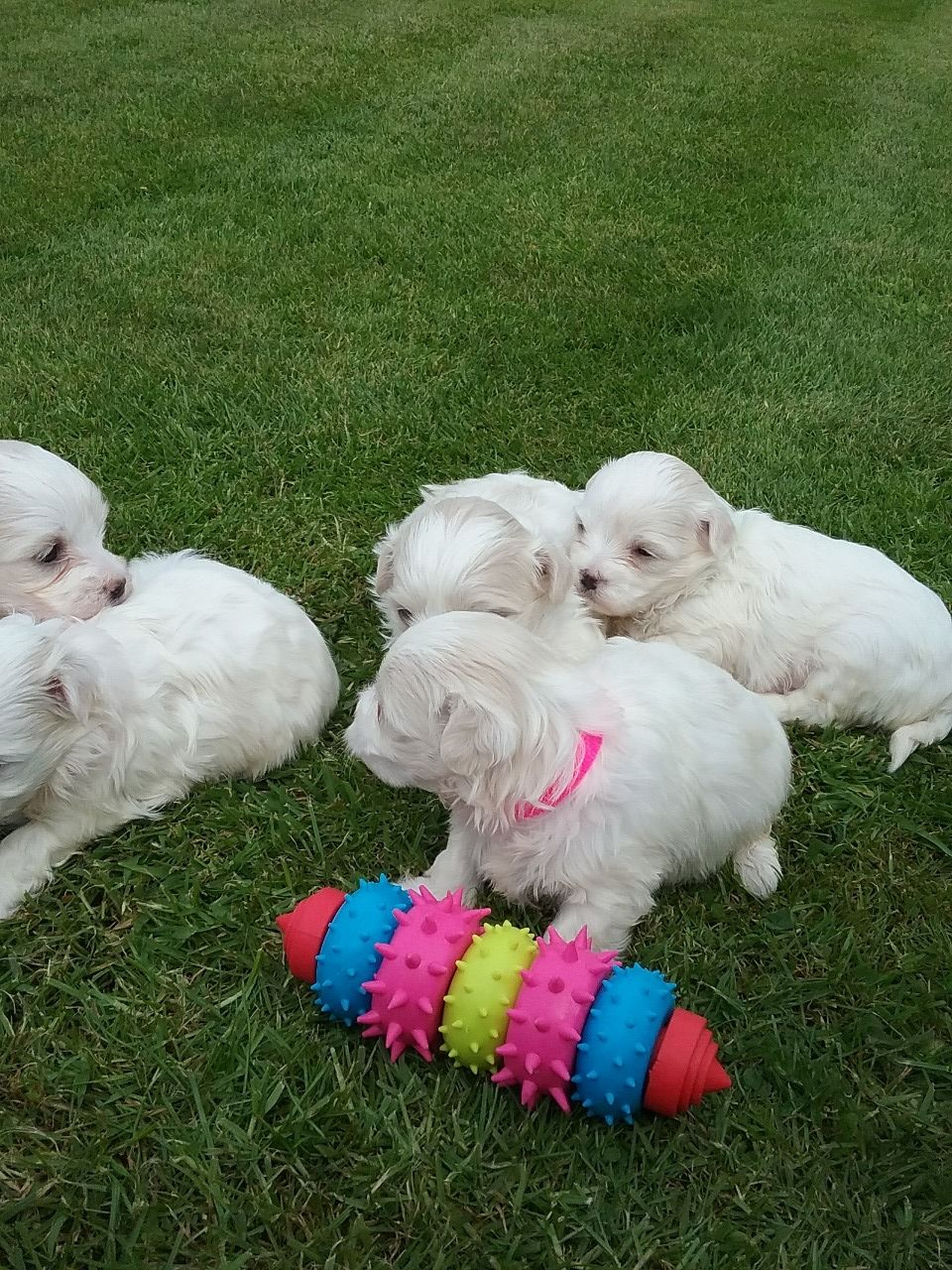 Pure Breed Maltese Puppies For Sale +1(337) 603-0249: maltese