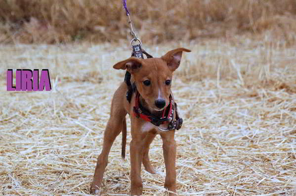 cachorros de tamaño pequeño 3