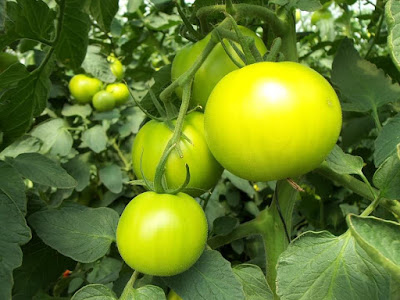 Tomato Became Idol of Hydroponics Business Opportunities