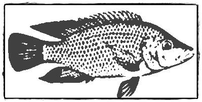 12 Ciri-Ciri Ikan Mujair dan Habitatnya